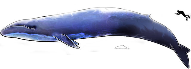 Image of Blue Whale and Dolphin with a Human Diver for Scale